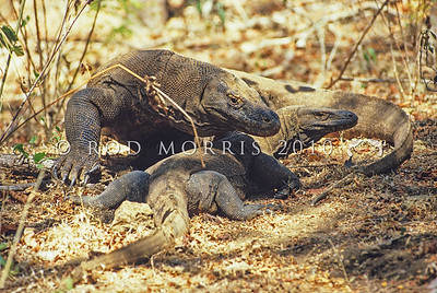 21003-50714  Komodo dragon (Varanus komodoensis) a large male guards a receptive female during the mating season. Banung Gulung, Komodo Island