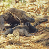 21003-50714  Komodo dragon (Varanus komodoensis) a large male guards a receptive female during the mating season. Banung Gulung, Komodo Island *