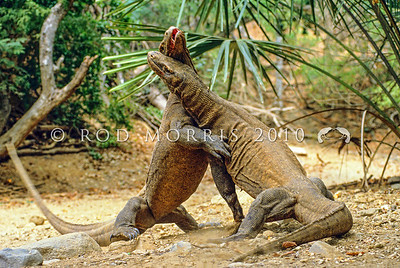 21003-50506  Komodo dragon (Varanus komodoensis) two rival males fighting during the mating season. Banung Gulung, Komodo Island *
