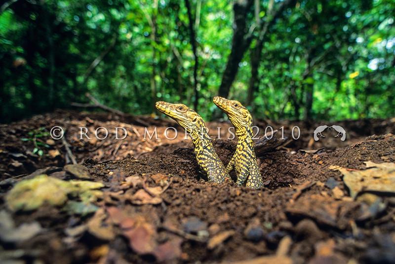 21003-50317  Komodo dragon (Varanus komodoensis) two hatchlings emerging from a megapode nest mound. Poreng, Komodo Island *