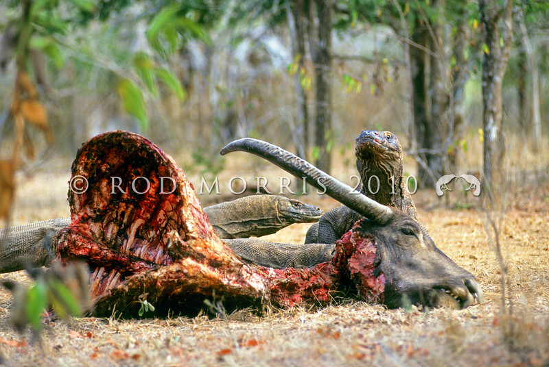 21003-50911  Komodo dragon (Varanus komodoensis) several large dragons around buffalo kill in savannah near Banung Gulung