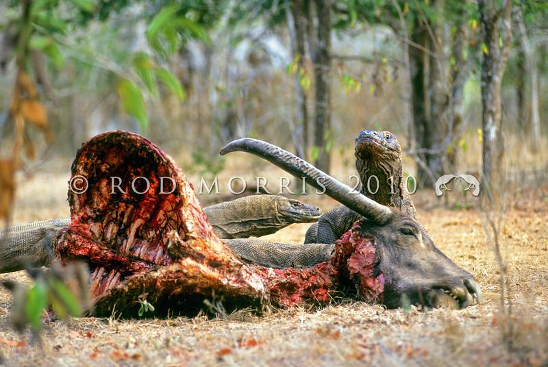 21003-50911  Komodo dragon (Varanus komodoensis) several large dragons around buffalo kill in savannah near Banung Gulung *