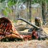 21003-50911  Komodo dragon (Varanus komodoensis) several large dragons around buffalo kill in savannah near Banung Gulung