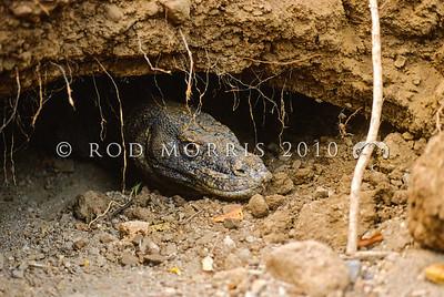 21003-50106  Komodo dragon (Varanus komodoensis) large male at entrance to his sleeping den. Banung Gulung, Komodo Island