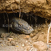 21003-50106  Komodo dragon (Varanus komodoensis) large male at entrance to his sleeping den. Banung Gulung, Komodo Island
