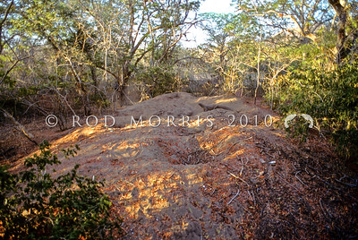 21003-50117  Komodo dragon (Varanus komodoensis) gravid female guarding and excavating her nest chamber in an extensive megapode nest mound. Loho Liang, Komodo Island