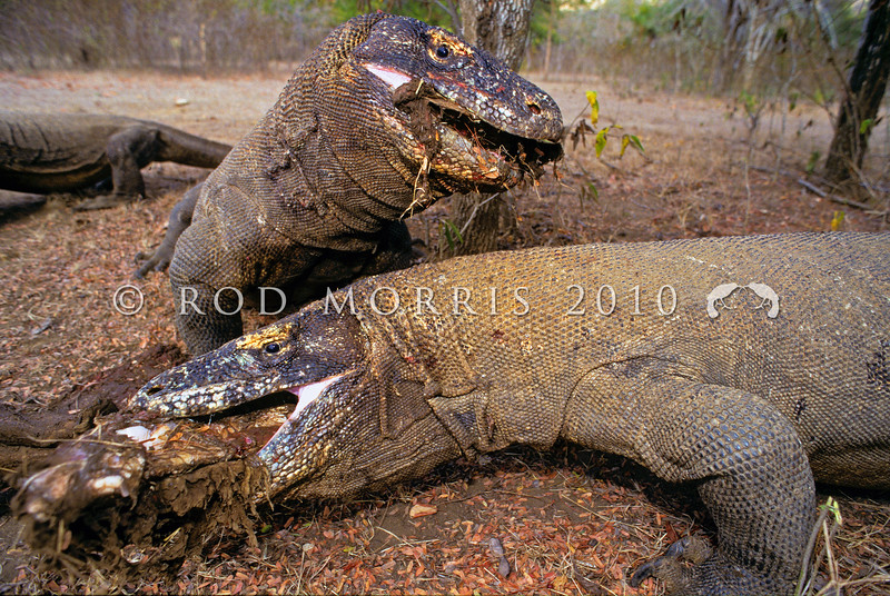 21003-50812  Komodo dragon (Varanus komodoensis) two large dragons around buffalo kill in the open savannah near Banung Gulung. Each is attempting to engulfed an entire buffalo leg torn from the carcass. Komodo Island *