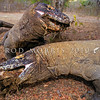 21003-50812  Komodo dragon (Varanus komodoensis) two large dragons around buffalo kill in the open savannah near Banung Gulung. Each is attempting to engulfed an entire buffalo leg torn from the carcass. Komodo Island