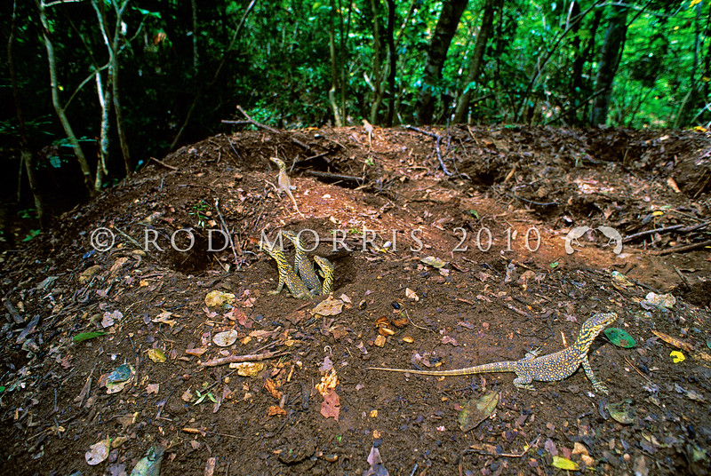 21003-50318  Komodo dragon (Varanus komodoensis) hatchlings emerging from a megapode nest mound. Poreng, Komodo Island