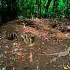 21003-50318  Komodo dragon (Varanus komodoensis) hatchlings emerging from a megapode nest mound. Poreng, Komodo Island *