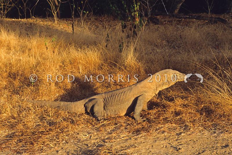 21003-50712  Komodo dragon (Varanus komodoensis) gravid female basking in early morning light. Loho Liang, Komodo Island *