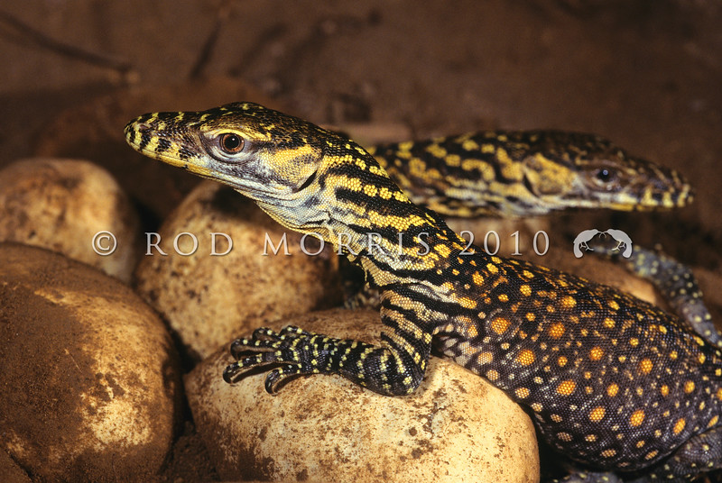 21003-50206  Komodo dragon (Varanus komodoensis) wild hatchlings in the nesting chamber. Poreng, Komodo Island *