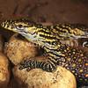 21003-50206  Komodo dragon (Varanus komodoensis) wild hatchlings in the nesting chamber. Poreng, Komodo Island