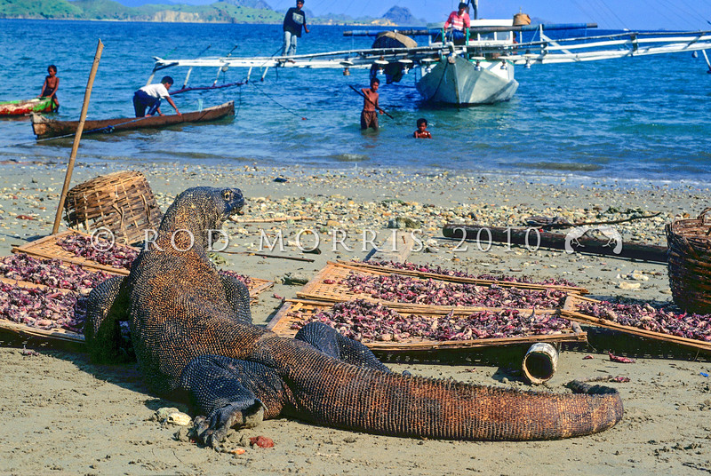 21003-50613  Komodo dragon (Varanus komodoensis) large male stealing squid drying in the sun, while village children watch from a squid boat nearby. Kampung Komodo
