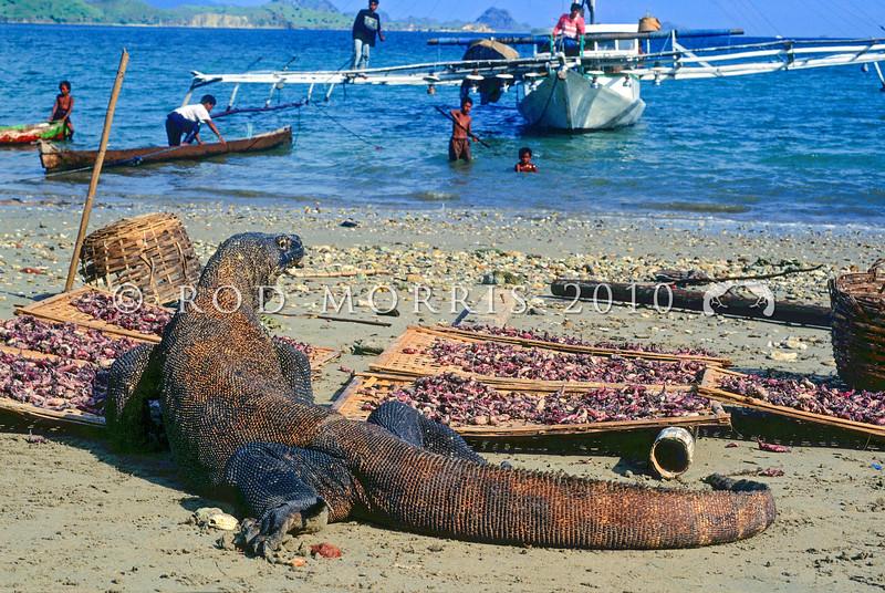 21003-50613  Komodo dragon (Varanus komodoensis) large male stealing squid drying in the sun, while village children watch from a squid boat nearby. Kampung Komodo *