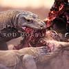 21003-50912  Komodo dragon (Varanus komodoensis) two large dragons feed at a buffalo kill in the savannah near Banung Gulung. Komodo island *