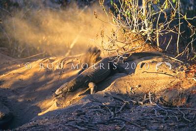 21003-50116  Komodo dragon (Varanus komodoensis) gravid female excavating her nest chamber in a megapode mound. Loho Liang, Komodo Island