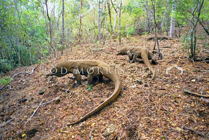 21003-50707  Komodo dragon (Varanus komodoensis) three rival males track a female through the coastal forest, during the mating season. Banung Gulung, Komodo Island *