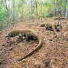 21003-50707  Komodo dragon (Varanus komodoensis) three rival males track a female through the coastal forest, during the mating season. Banung Gulung, Komodo Island