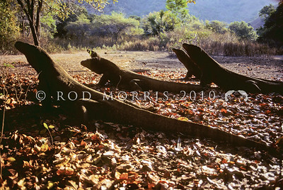 21003-50121  Komodo dragon (Varanus komodoensis) several large males warm up in the early morning sun. Banung Gulung, Komodo Island