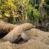 21003-50108  Komodo dragon (Varanus komodoensis) large male leaving his sleeping den in the early morning. Banung Gulung, Komodo Island