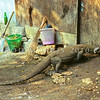 21003-50823  Komodo dragon (Varanus komodoensis) female scavenging outside the ranger's camp kitchen door on Rinca Island