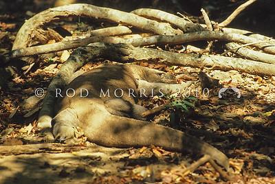 21003-50710  Komodo dragon (Varanus komodoensis) large male lying in wait to ambush Rusa deer prey near Banung Gulung, Komodo Island
