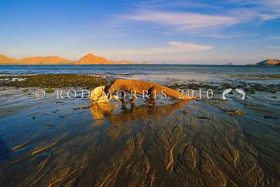 21003-50402  Komodo dragon (Varanus komodoensis) feeding on a dead sea turtle washed ashore. Loho Liang, Komodo Island