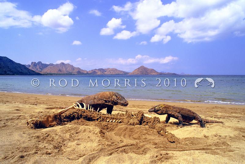 21003-50609  Komodo dragon (Varanus komodoensis) two dragons feeding on carrion washed ashore. Loho Liang, Komodo Island *