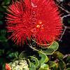 11709-37010 Mountain rose (Metrosideros nervulosa) detail of flowers on Mount Gower, Lord Howe Island *