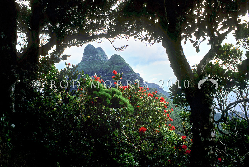 11709-37002 Mountain rose (Metrosideros nervulosa) scarlet flowers on summit of Mount Gower, with Mount Lidgebird in background on Lord Howe Island *