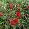 11709-37005 Mountain rose (Metrosideros nervulosa) flowering plant on summit of Mount Gower, Lord Howe Island *
