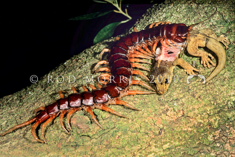 11805-14503 Phillip Island Centipede (Cormocephalus coyneii) a large island predator, feeding on Phillip Island southern gecko (Christinus guentheri) in a Lagunaria tree on Phillip Island, Norfolk Island Group