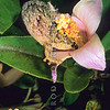 11803-17012 Lord Howe Island southern gecko (Christinus guentheri) adult taking nectar from Lagunaria flowers. Phillip Island, Norfolk Island Group