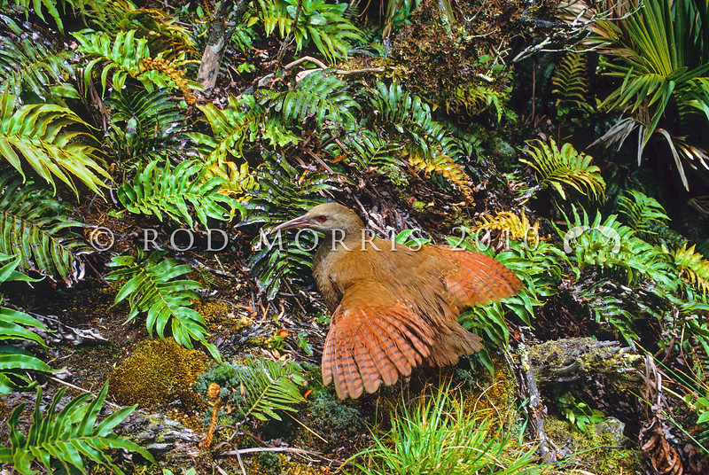 11701-36209 Lord Howe woodhen (Gallirallus sylvestris) male 'sunning' during a break in the clouds, on the summit of Mount Gower, Lord Howe Island