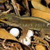 11803-17001 Lord Howe Island southern gecko (Christinus guentheri) adult with eggs in leaf litter. Norfolk Group