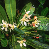 11709-01001 Lord Howe hotbark (Zygogynum howeana) flowering plant in palm forest on Mount Gower, Lord Howe Island