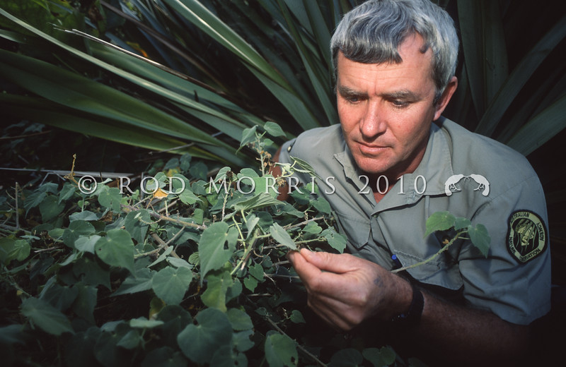 11809-17503 Norfolk Island Abutilon (Abutilon julianae) Derek Greenwood with the extinct abutilon he rediscovered. This  small shrub was endemic to Norfolk Island and nearby Philip Island, but was thought extinct. On Philip Island it disappeared around 1805. However, after more than a hundred years, the control of feral rabbits in the mid 1980's resulted in Derek re-discovering a few surviving plants on the cliffs of the island. Phillip Island, Norfolk Island Group *