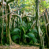 11709-09001 Lord Howe banyan (Ficus macrophylla columnaris) large tree near Middle Beach, Lord Howe Island *