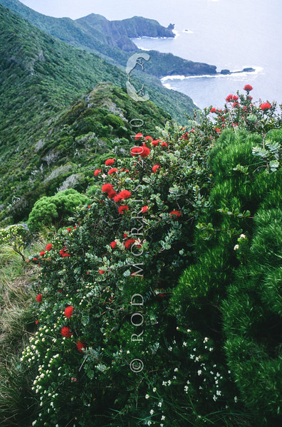 11709-37003 Mountain rose (Metrosideros nervulosa) scarlet flowers on summit of Mount Gower, with the slopes of Mount Lidgebird in background on Lord Howe Island *