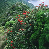 11709-37003 Mountain rose (Metrosideros nervulosa) scarlet flowers on summit of Mount Gower, with the slopes of Mount Lidgebird in background on Lord Howe Island.