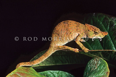 39003-12001 Nose-horned chameleon (Calumma nasuta) female amongst leaves at night (male and female both have nasal appendages). A common rainforest species in low vegetation up to 3 m off the ground. The nose-horned chameleon is able to persist in secondary as well as primary forest and can often be found at forest edges. Perinet, Madagascar