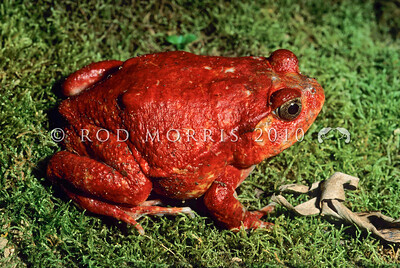 39003-05001 Tomato frog (Dyscophus atongili) adult female on moss. When threatened by a predator this frog secretes a thick gummy substance from its skin that contains a toxin. Maroantsetra, Madagascar