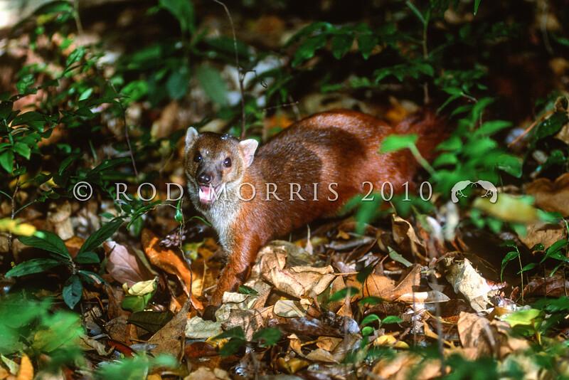 39002-55101 Northern ring-tailed Vontsira (Galidia elegans dambrensis) adult in forest. Ankarana, Madagascar *