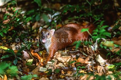 39002-55101 Northern ring-tailed Vontsira (Galidia elegans dambrensis) adult in forest. Ankarana, Madagascar