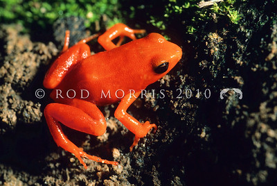 39003-01001 Golden mantella (Mantella aurantiaca)  the mantellas are tiny Madagascan frogs. Their brightly coloured skins indicate they are highly toxic. Although the Golden mantella is typically bright yellow, this male is of the red form. Andasibe, Madagascar