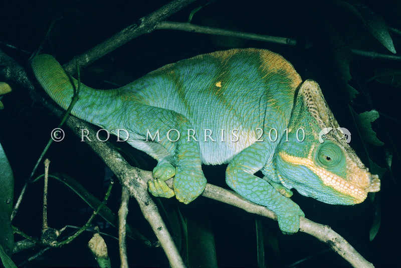 39003-12601 Yellow-lipped Parson's chameleon (Calumma parsonii parsonii) adult male. Heaviest by weight, and among the largest species of chameleon in the world. Restricted to isolated pockets of humid primary forest in eastern and northern Madagascar. Mandraka, Madagascar *