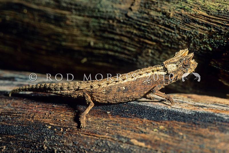 39003-10401 Domergue's leaf chameleon (Brookesia thieli) tiny adult on forest floor. Andasibe, Madagascar *