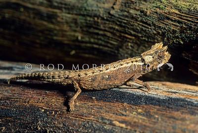 39003-10401 Domergue's leaf chameleon (Brookesia thieli) tiny adult on forest floor. Andasibe, Madagascar