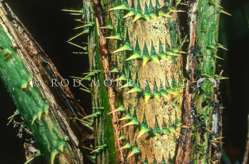 21009-79011 Sulawesi rattan (Plectocomia muelleri) closeup of spines. Rattans are vine-like palms which scramble through and over other rainforest vegetation.The spines act as hooks to aid climbing, and to deter browsing mammals. Most (70%) of the world's rattan comes from Indonesia, especially from Borneo, Sulawesi, and the Sumbawa Islands. Dumoga Bone National Park, North Sulawesi.
